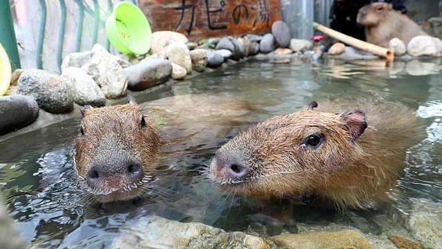 冬天一到,怕冷的水豚又要泡温泉了