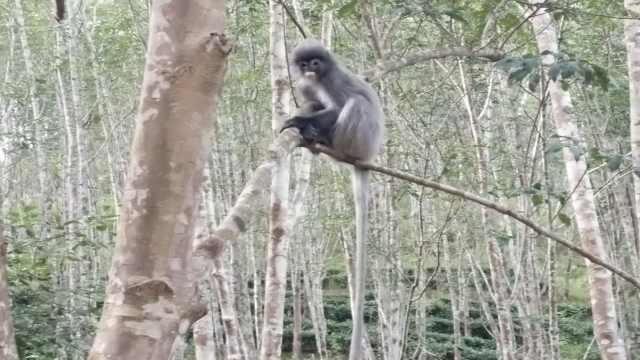 独臂灰叶猴误闯橡胶林,上蹿下跳