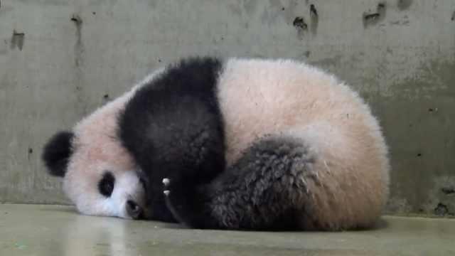 这么大个熊猫团子,赶紧来认领!