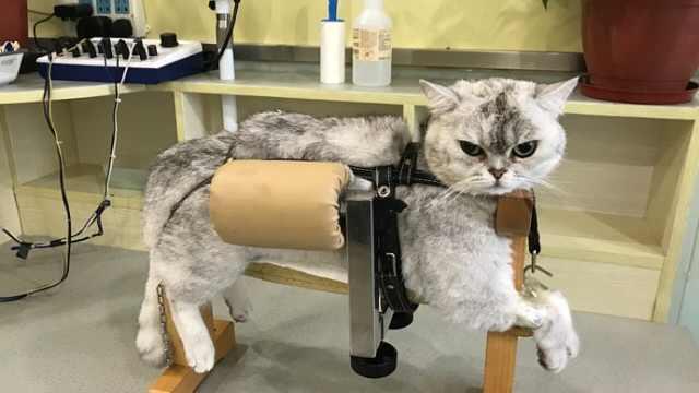 宠物针灸流行!4年救了2000只猫狗