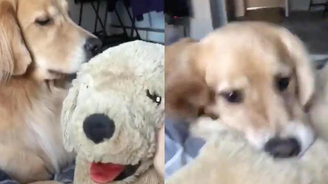 主人夸玩具狗,金毛吃醋一嘴咬上去