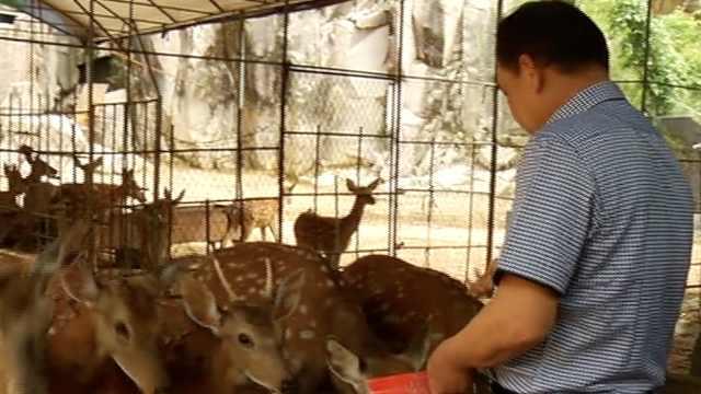 任性!只因爱吃鹿茸,他养起梅花鹿