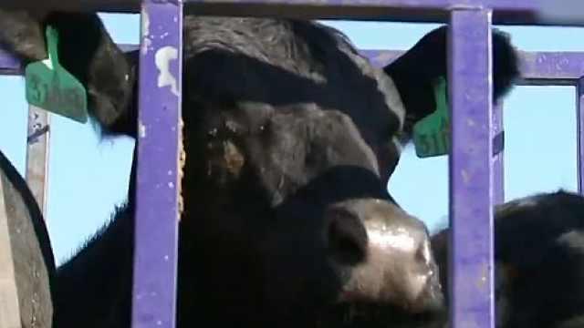 吃货福音!2382头澳洲肉牛来啦