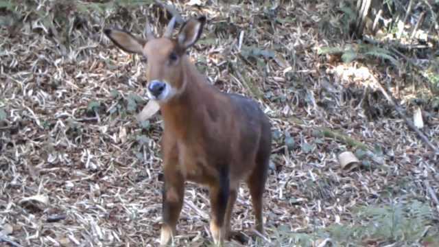 中国新物种!红鬣羚栖息云南怒江