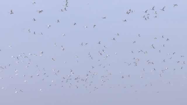 7万只天鹅来越冬,鄱阳湖变天鹅湖