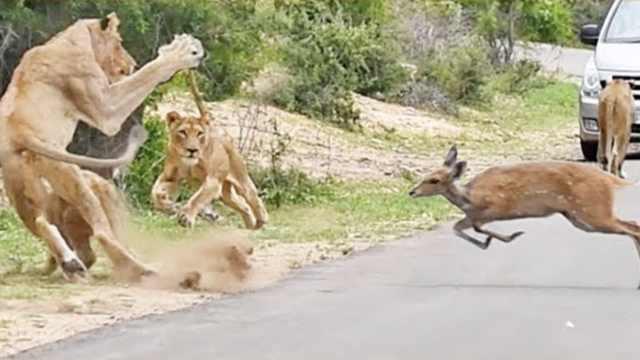 小鹿自投罗网冲向狮群,瞬间被瓜分