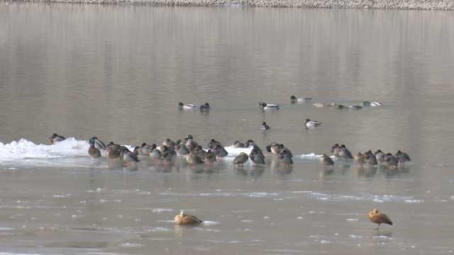 准时赴约!候鸟洮河越冬,与对象畅游