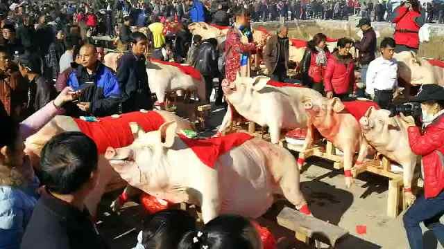 福建晒猪节:肥猪被宰后组团日光浴