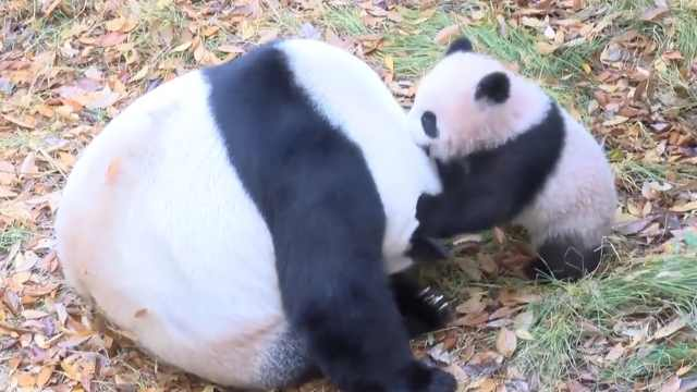 熊猫宝宝将开放参观,动物园已禁烟