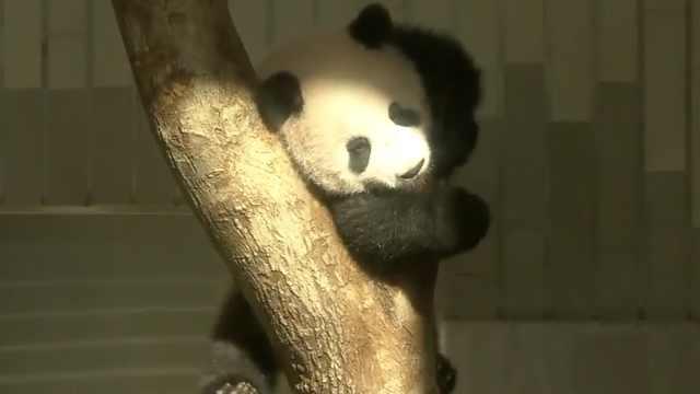 熊猫宝宝周三见公众,24万组人求见