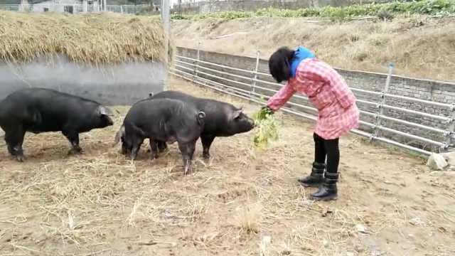 她弃高薪当村官,带村民养猪遇滞销