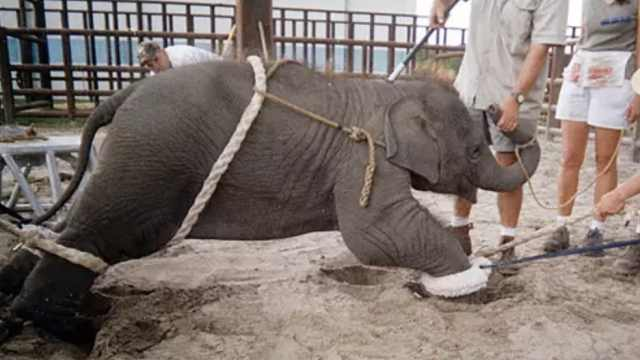 泰国大象旅游业的背后,带血的快乐