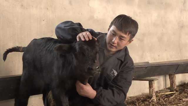 大学生辞职创业,研究牛的授精配种