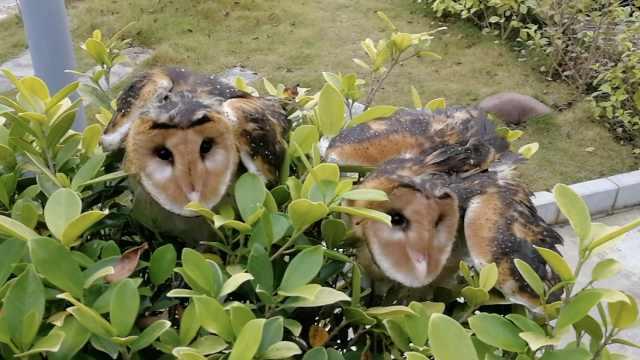 3只幼鸮被雨水淋透,受伤后身体虚弱