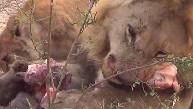 狮子捕猎时,身边总带只小豺狼?