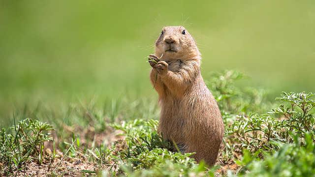 直播:啊!春来啦!土拨鼠预言家报春