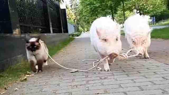 猪猪竟然如此可爱,一起来吸猪!