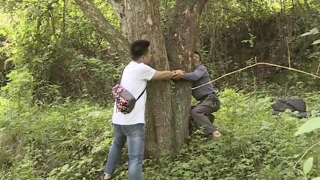 百年梨树腰围2米1,一棵树3种梨价