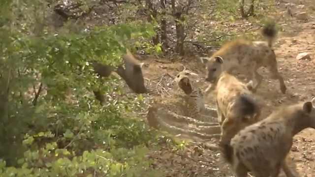 受伤猎豹遭鬣狗围攻撕咬,负伤逃亡