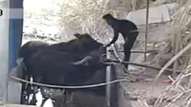 曝待宰活牛被强行灌水:牛鼻插水管