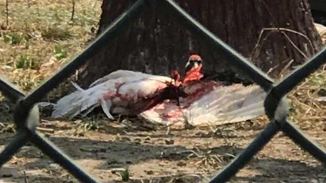 丹顶鹤被打出血进展:饲养员被停职