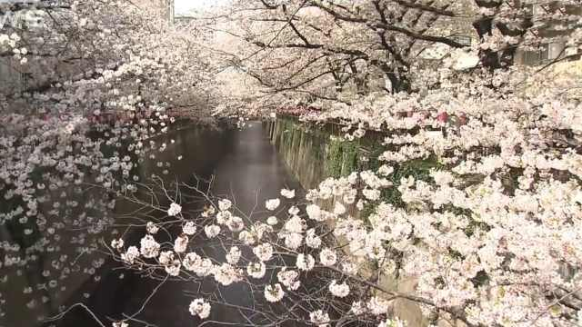 太美了!全日本人气最高的赏樱地点