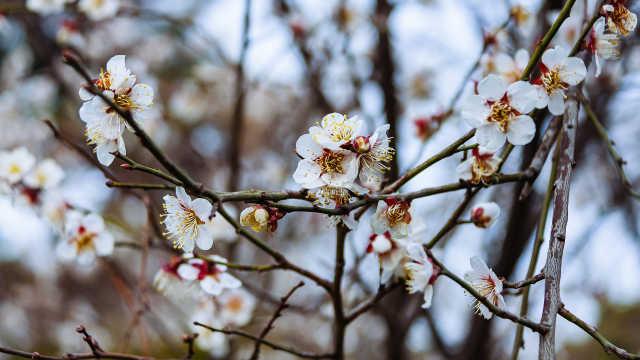 樱桃花开香气溢,吃樱桃倒计时40天