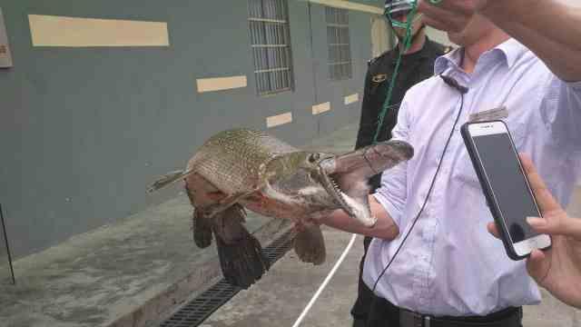 小区湖内惊现奇形怪鱼,吃光锦鲤