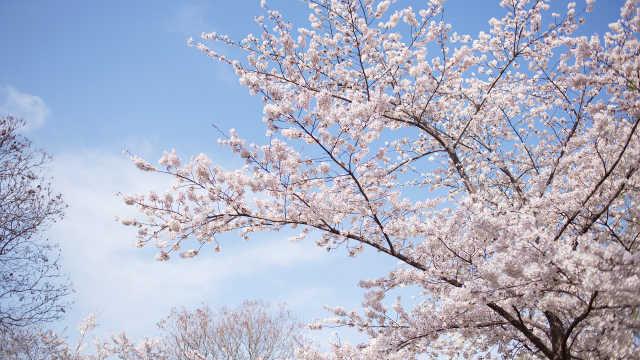 别人家的大学:我在海大赏樱花