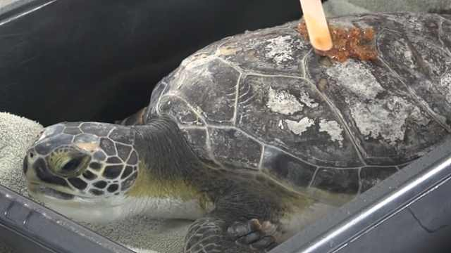 美国动物园用蜂蜜涂抹海龟伤口