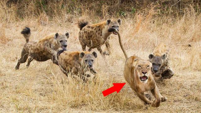 什么动物才是鬣狗的天敌?