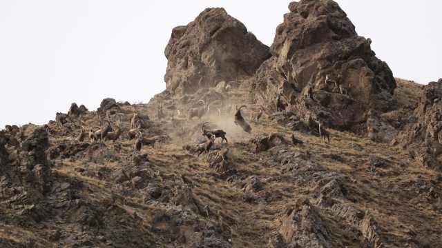 峭壁上的精灵:北山羊群裸岩上群斗
