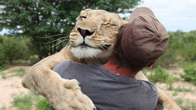 小狮遗弃被救起,被两个奶爸宠上天