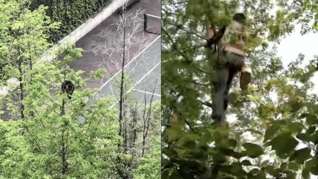 小猫困15米树顶2天,