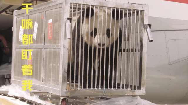 2熊猫内蒙古安家,伙食从四川空运