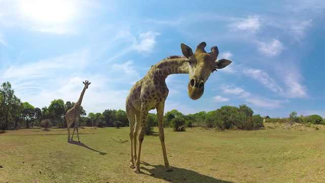 吃货长颈鹿,每天能吃树叶60公斤