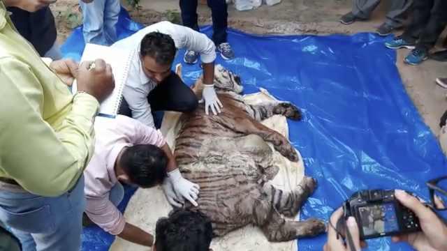 印度雄虎咬死两只幼虎,原因竟是…