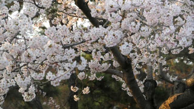 这个季节,青岛美成了一片樱花海