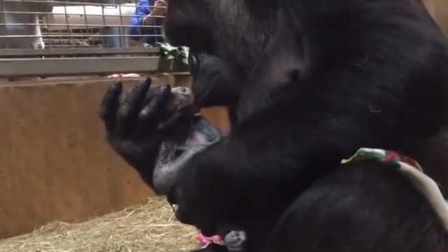 超暖!猩猩妈妈亲吻刚出生的宝宝