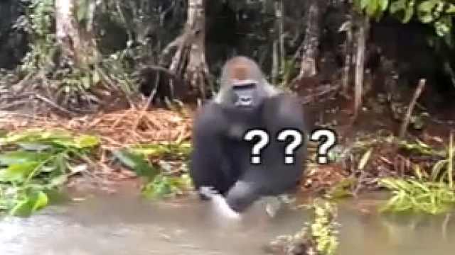 猩猩:愚蠢的人类,接着!