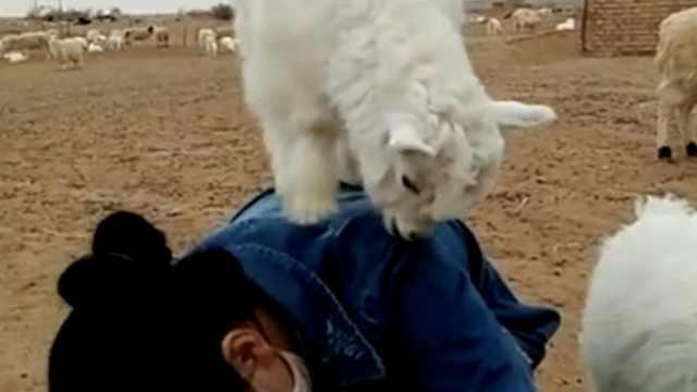 这羊成精了!竟在主人背上