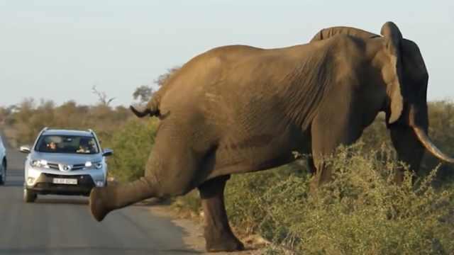 大象横穿马路,边练瑜伽边走路