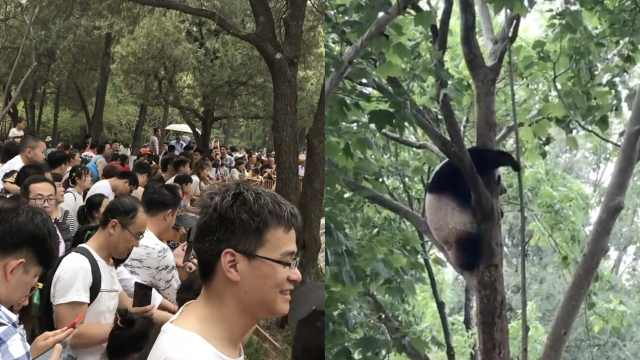 动物园人山人海,熊猫害羞躲上树