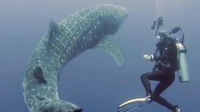 摄影师偶遇鲨鱼,共舞画面太优美