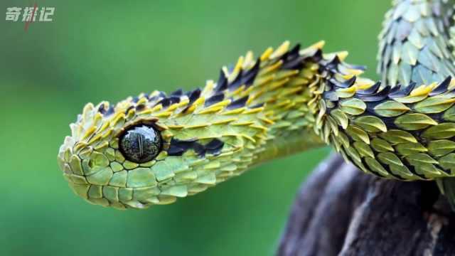 七种致命的毒蛇!