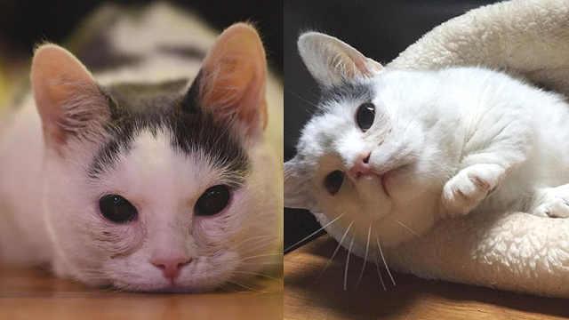 """失明短腿小猫,成为甜心""""小土豆"""""""