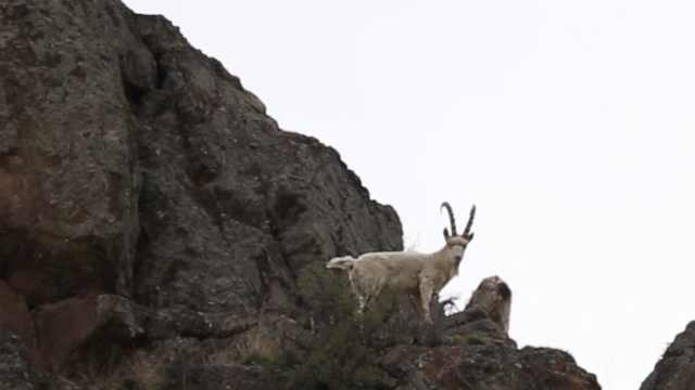 基因变异?2千米海拔惊现全白北山羊