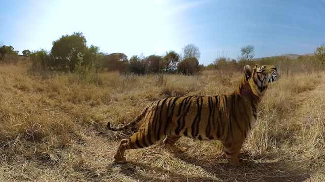 老虎成濒危动物,100年间减少了96%