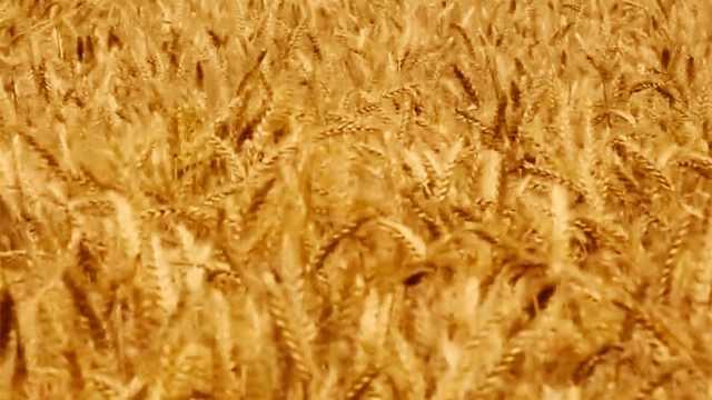 这个时期收割小麦产量最高!