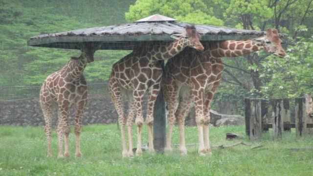 这样蠢萌的长颈鹿,你见过吗?